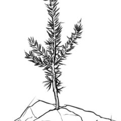 Sprig of a cedar tree line drawing