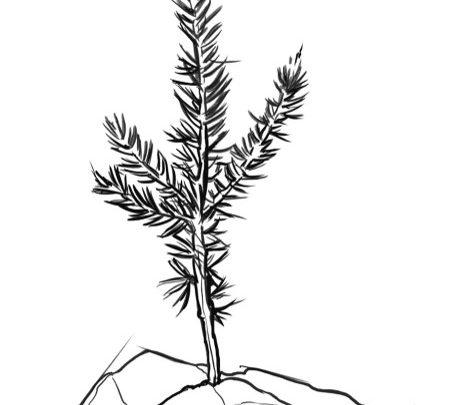 Sprig of a cedar tree line drawing